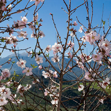 Almond-Blossom-by-terrace